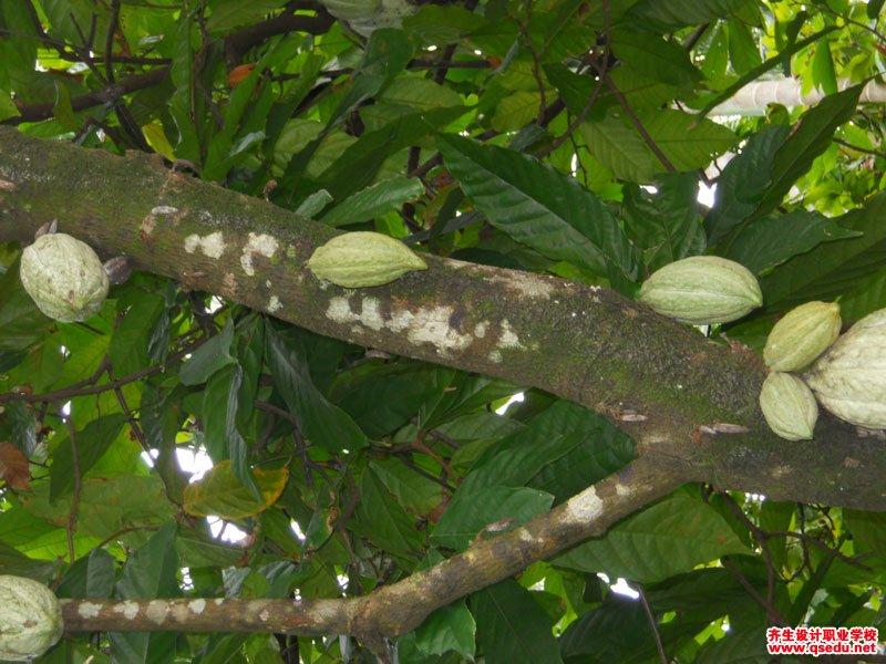 可可树的形态特征、生长习性和园林用途