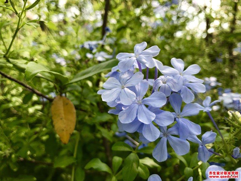 蓝雪花的花期、形态特征、生长习性和园林用途