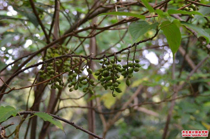 中国旌节花的花期、形态特征、生长习性和园林用途