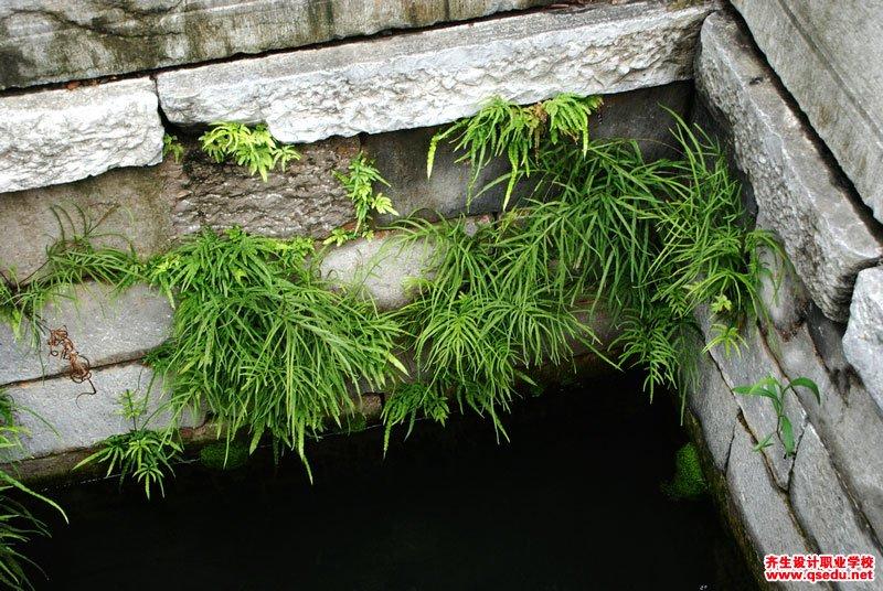 井栏边草的形态特征、生长习性和园林用途