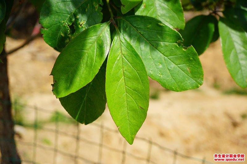 流苏树的花期、形态特征、生长习性和园林用途