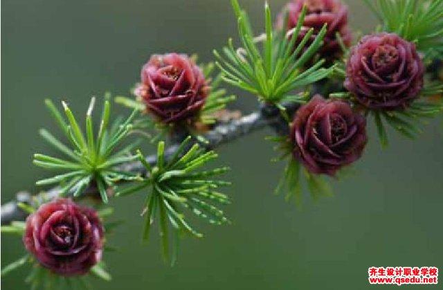 落叶松的形态特征、生长习性和园林用途