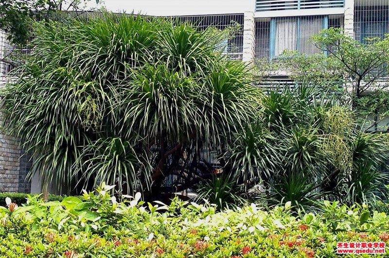 龙血树的形态特征、生长习性和园林用途