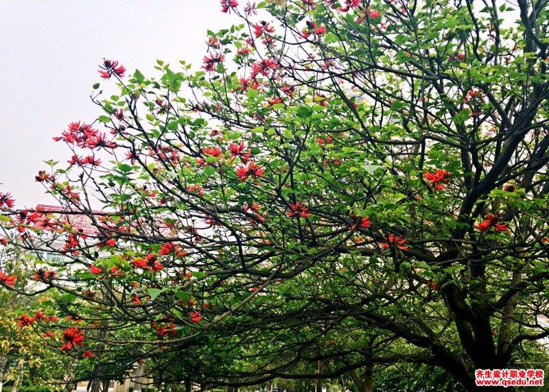 龙牙花的花期、形态特征、生长习性和园林用途