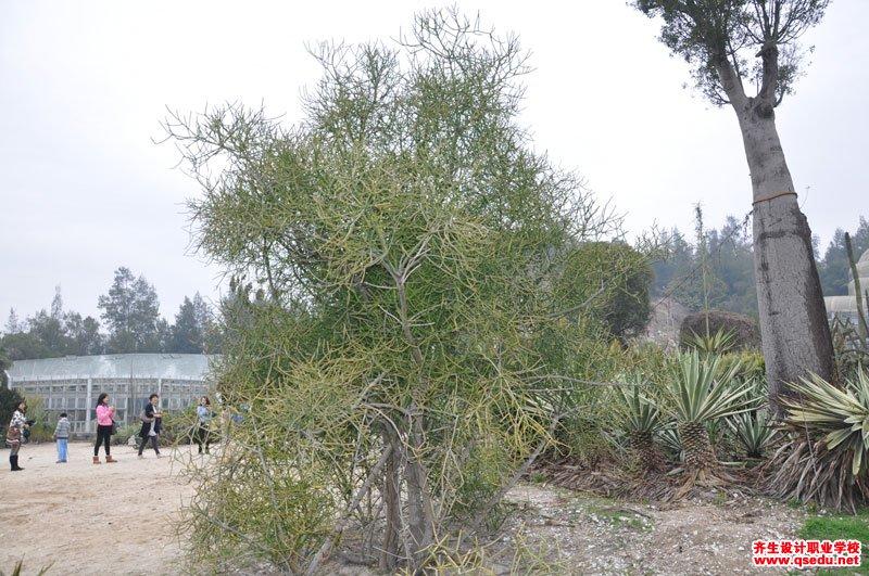 绿玉树(光棍树)的形态特征、生长习性和园林用途
