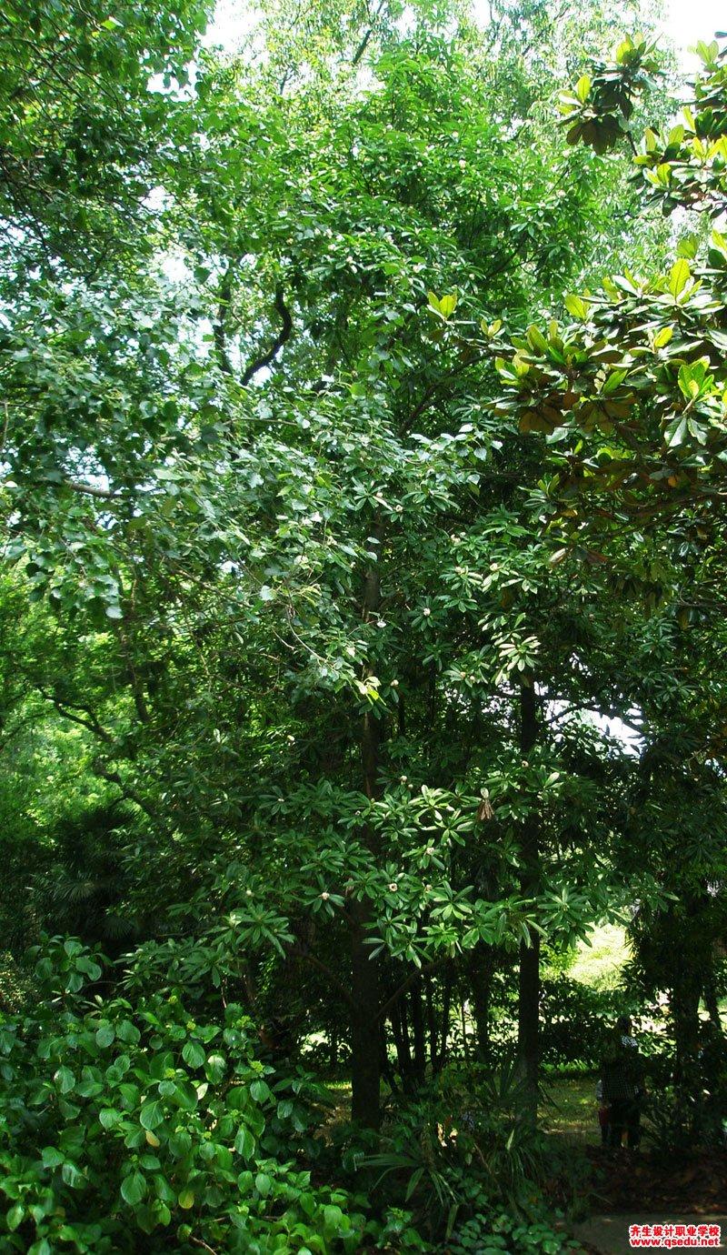 木莲的花期、形态特征、生长习性和园林用途