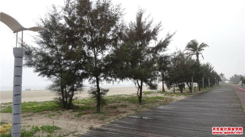 木麻黄的形态特征、生长习性和园林用途