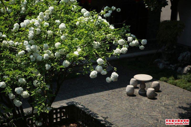 绣球荚蒾(木绣球)的花期、形态特征、生长习性和园林用途