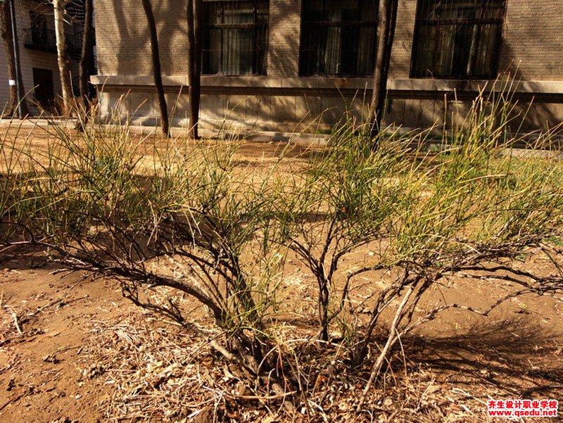 木贼麻黄的形态特征、生长习性和园林用途