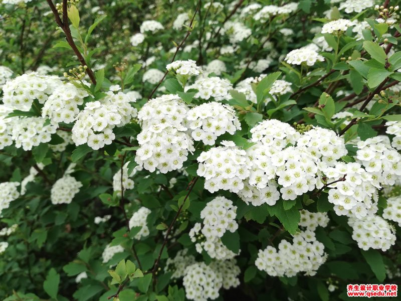 麻叶绣线菊的花期、形态特征、生长习性和园林用途