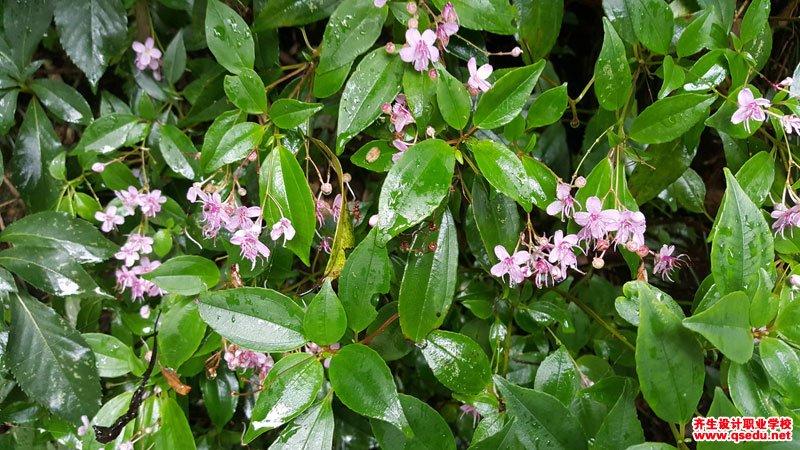 鸭脚茶的形态特征、生长习性和园林用途