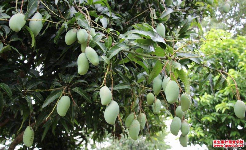 芒果树的形态特征、生长习性和园林用途