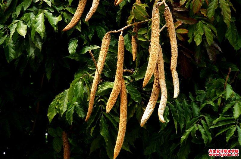 猫尾木的形态特征、生长习性和园林用途
