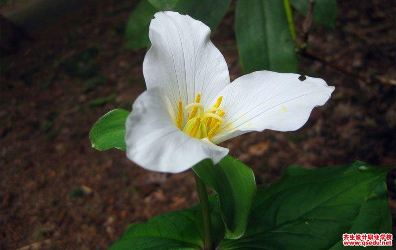 延龄草的形态特征、生长习性和园林用途