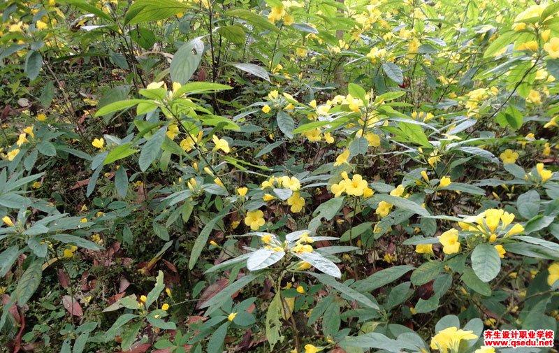 石海椒的花期、形态特征、生长习性和园林用途