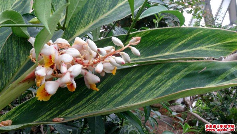 花叶艳山姜的花期、形态特征、生长习性和园林用途