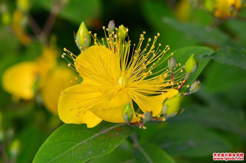 金丝桃的花期、形态特征、生长习性和园林用途