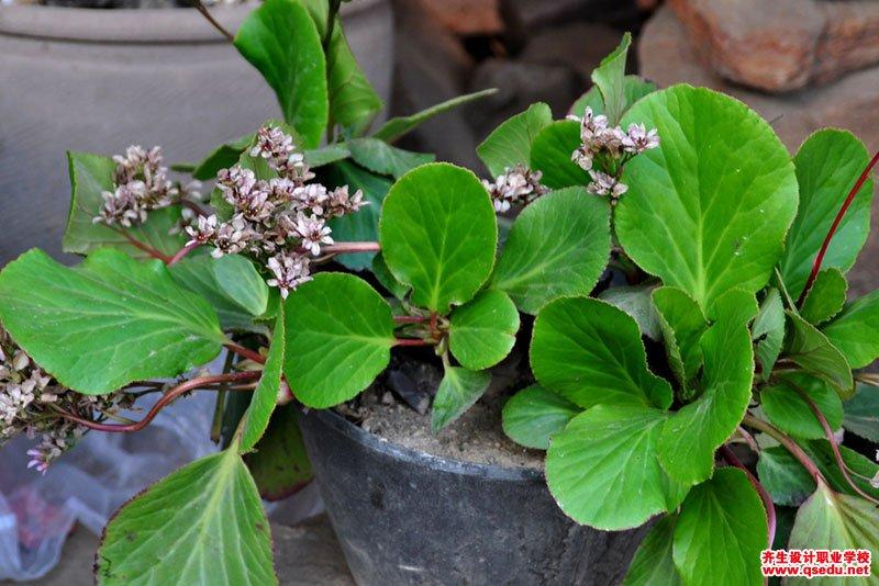 岩白菜的花期、形态特征、生长习性和园林用途