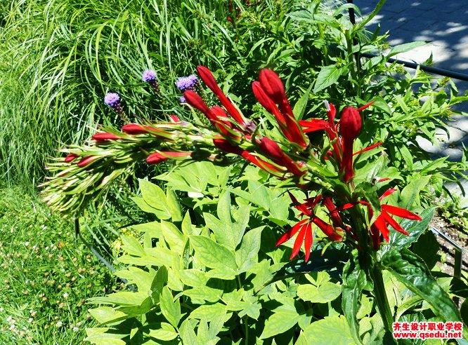 红花半边莲的形态特征、生长习性和园林用途