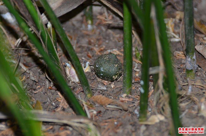 蜘蛛抱蛋(一叶兰)的形态特征、生长习性和园林用途