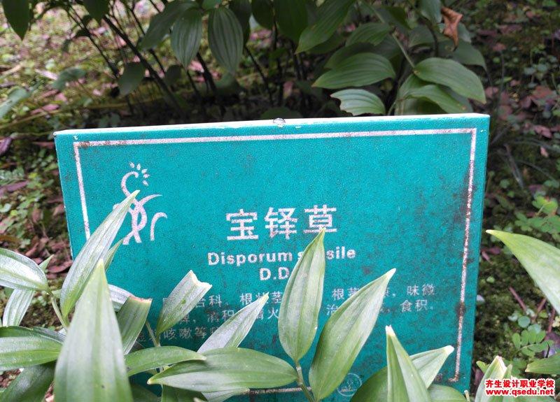 宝铎草的形态特征、生长习性和园林用途