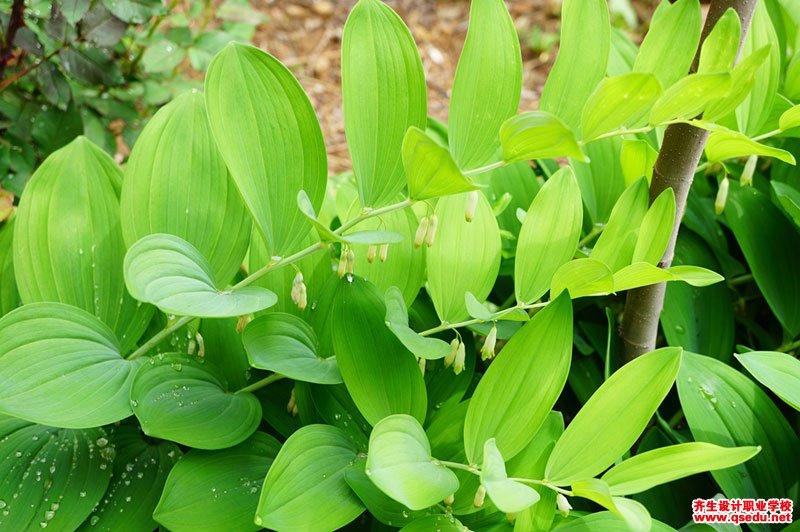 玉竹的形态特征、生长习性和园林用途