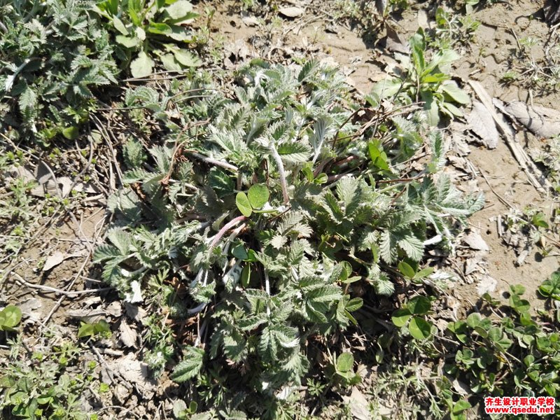 翻白草的花期、形态特征、生长习性和园林用途