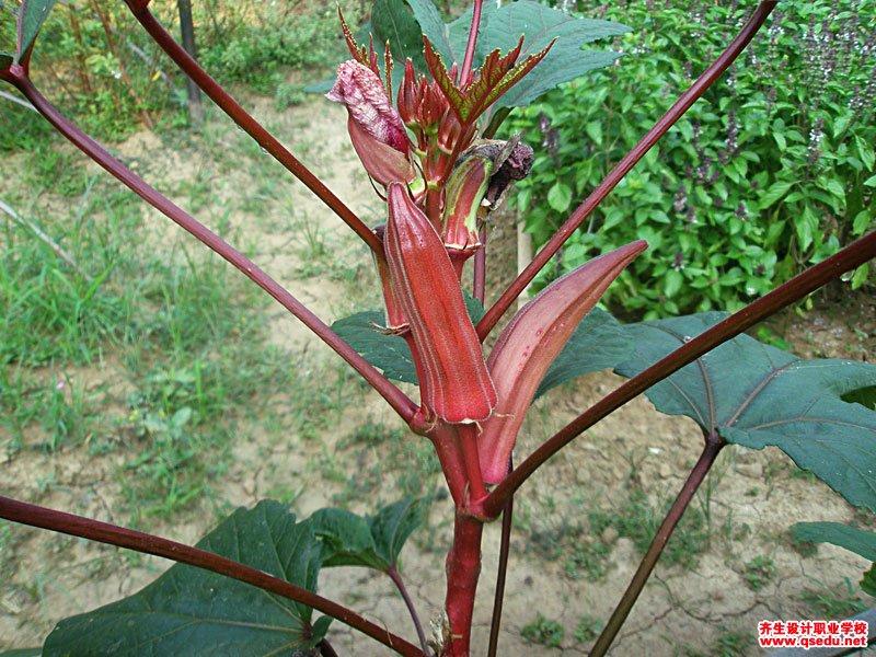 咖啡黄葵(秋葵)的花期、形态特征、生长习性和园林用途