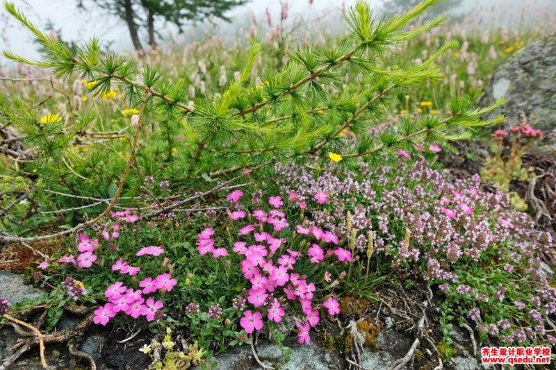 高山石竹的花期、形态特征、生长习性和园林用途