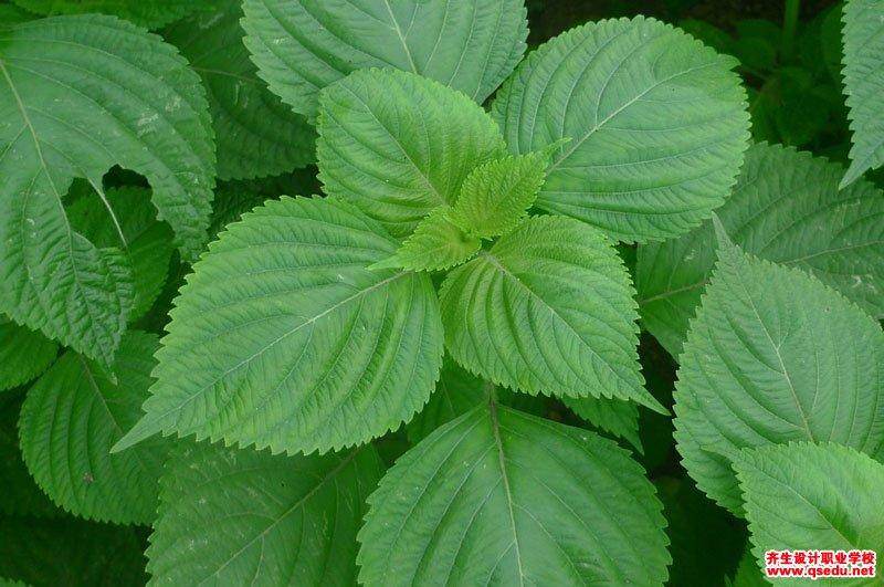 紫苏的形态特征、生长习性和园林用途