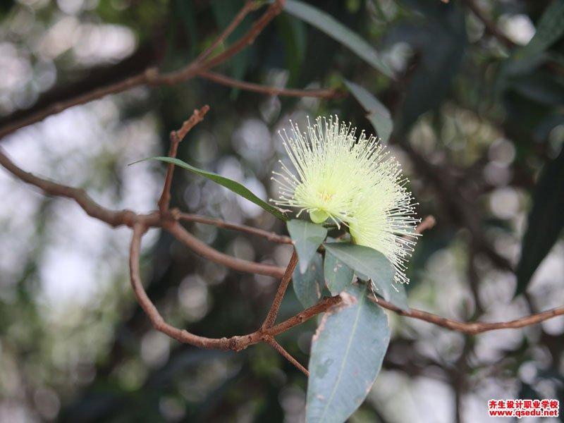水蒲桃的花期、形态特征、生长习性和园林用途