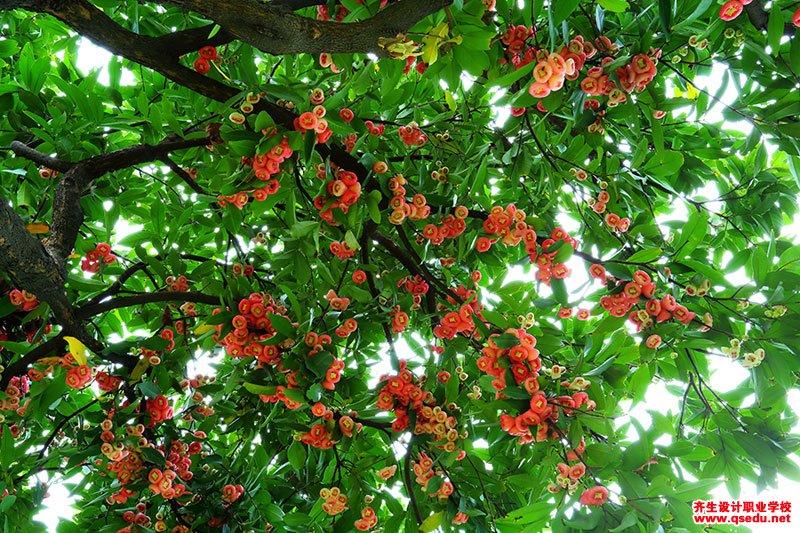 洋蒲桃(莲雾)的花期、形态特征、生长习性和园林用途