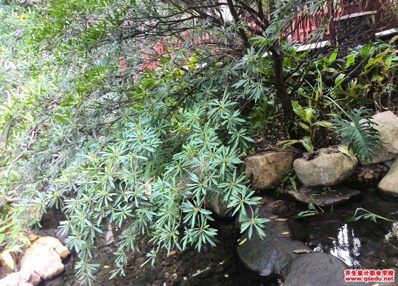水石榕(海南杜英)的花期、形态特征、生长习性和园林用途