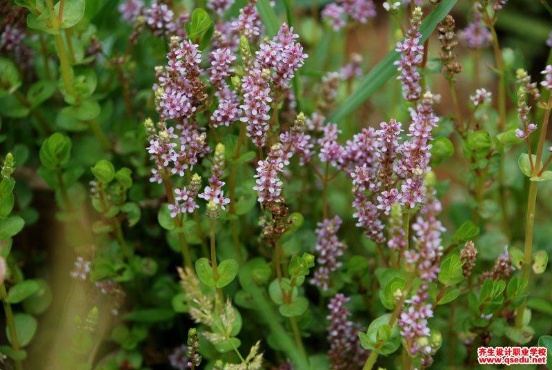 圆叶节节菜的花期、形态特征、生长习性和园林用途