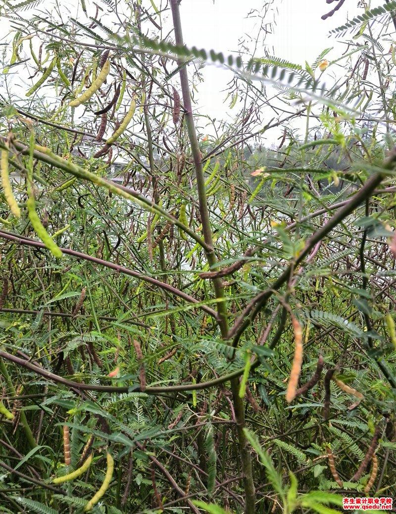 合萌的花期、形态特征、生长习性和园林用途