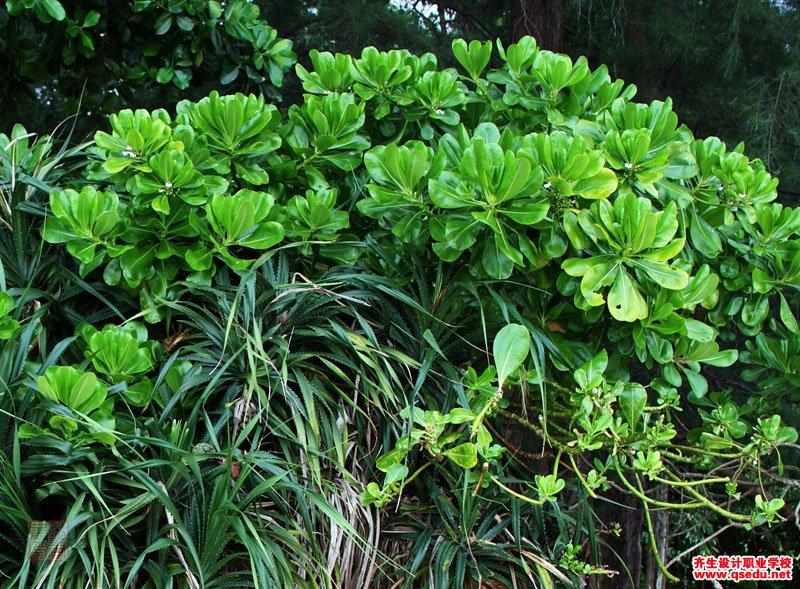 草海桐的形态特征、生长习性和园林用途