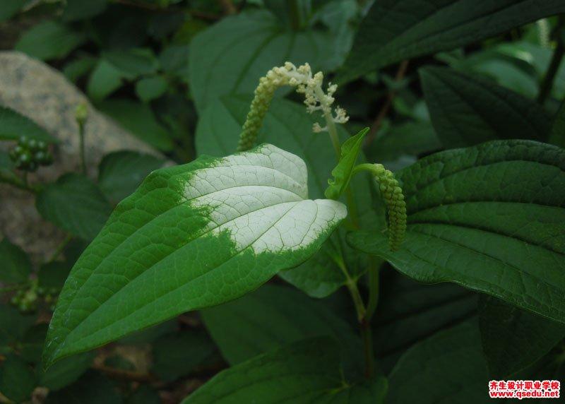 三白草的形态特征、生长习性和园林用途