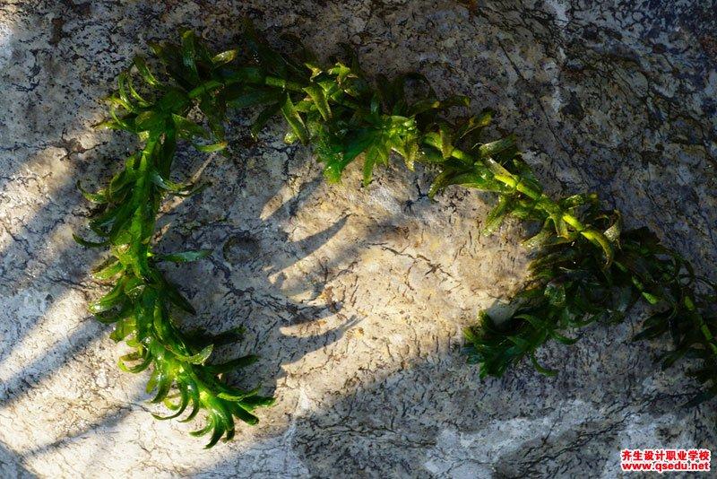 黑藻的形态特征、生长习性和园林用途