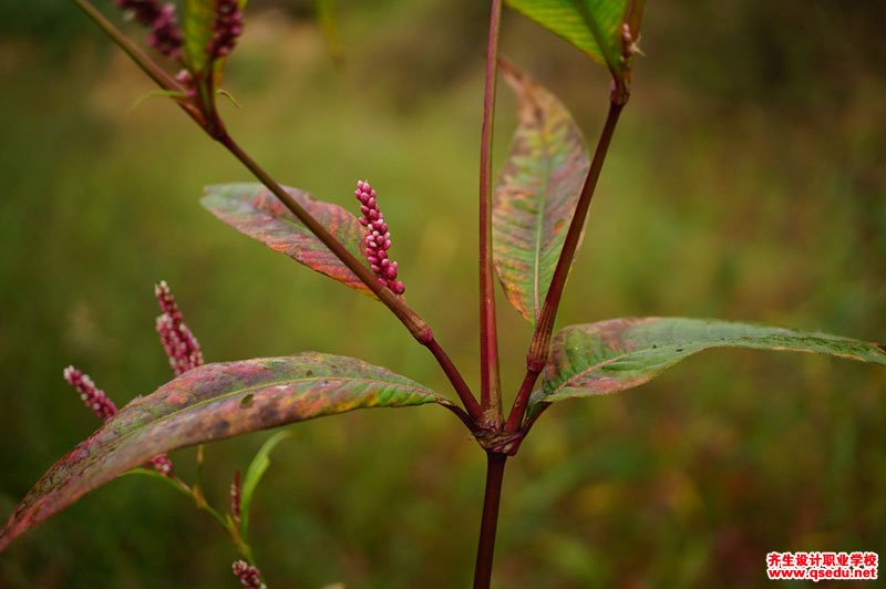 水蓼的形态特征、生长习性和园林用途
