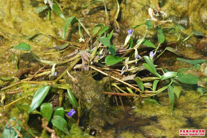 鸭舌草的形态特征、生长习性和园林用途
