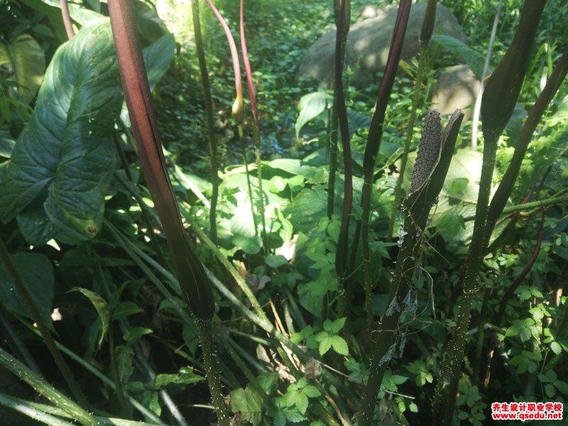 刺芋的形态特征、生长习性和园林用途