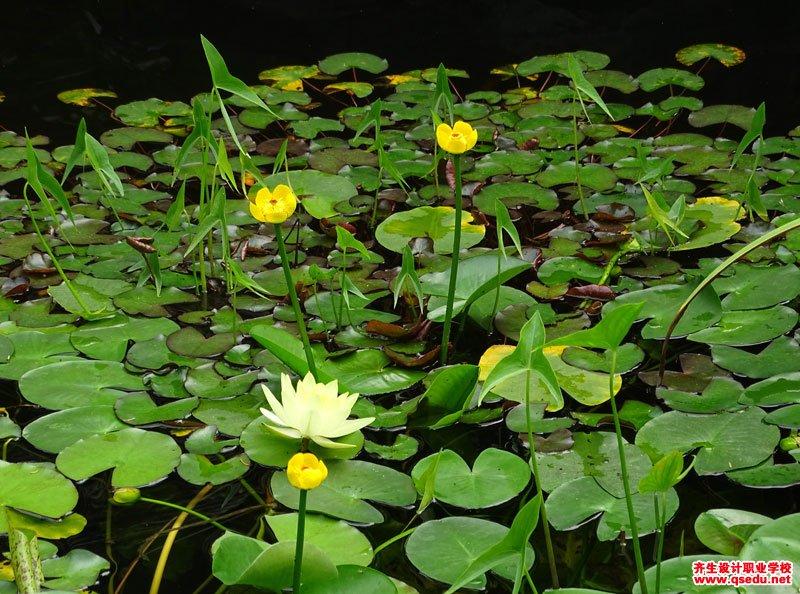 萍蓬草的花期、形态特征、生长习性和园林用途