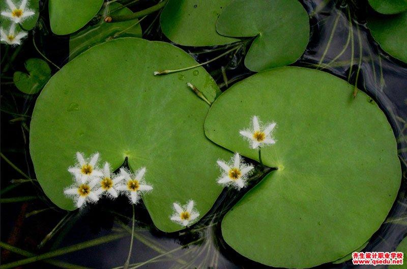 金银莲花的花期、形态特征、生长习性和园林用途