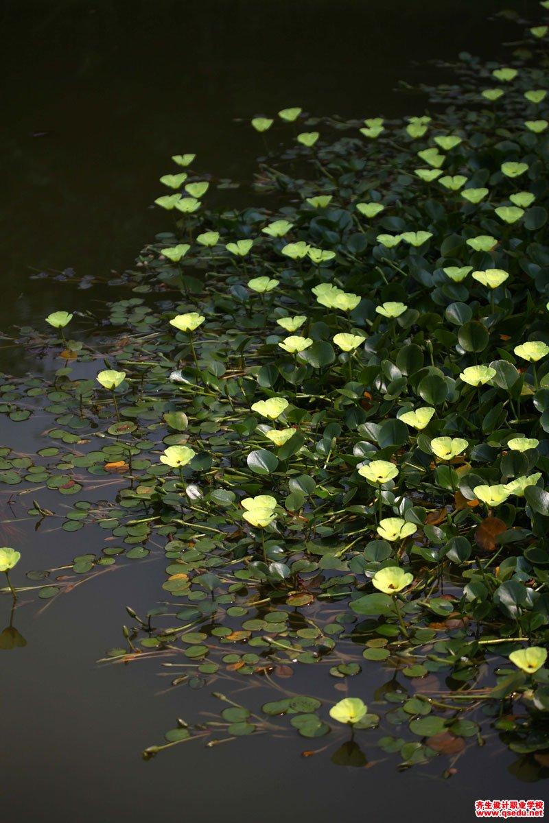 水金英(水罂粟)的花期、形态特征、生长习性和园林用途