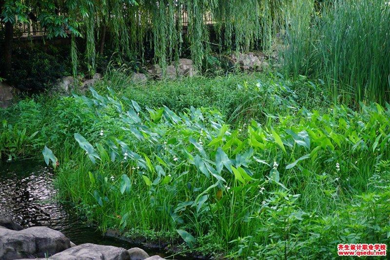 茨菰(慈姑)的形态特特征、生长习性和园林用途