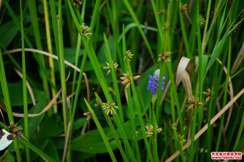 水毛花的形态特征、生长习性和园林用途