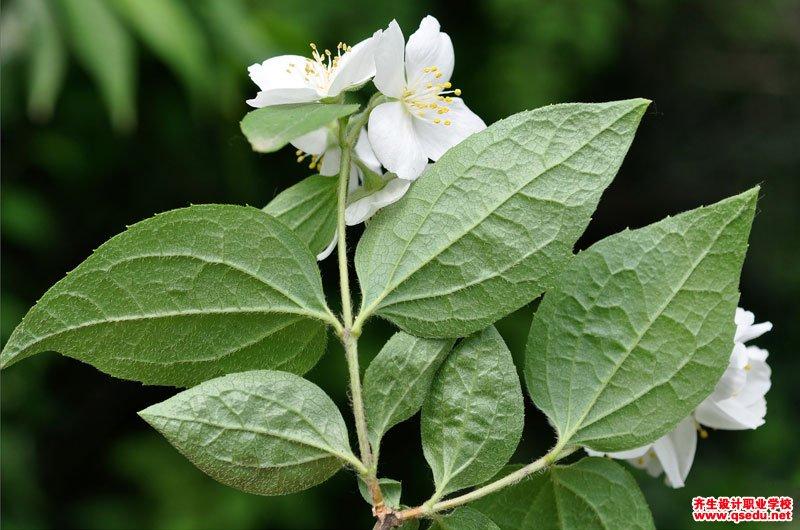 山梅花的花期、形态特征、生长习性和园林用途