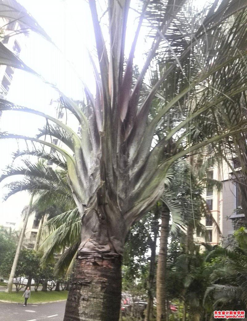 三角椰子的形态特征、生长习性和园林用途