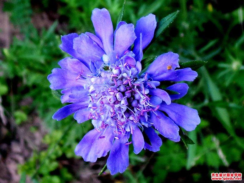 华北蓝盆花的花期、形态特征、生长习性和园林用途