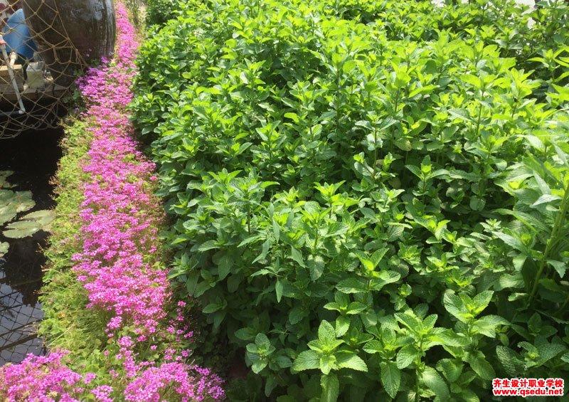 留兰香的形态特征、生长习性和园林用途